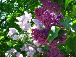 purple and pink lilacs. again by crazygardener