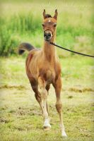 Arabian foal by Pebels