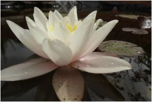 waterlily by PhotographyisArt123