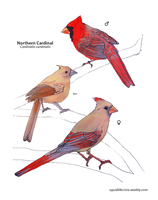 Northern Cardinal by squidlifecrisis