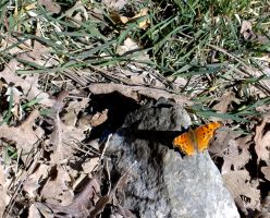 QuestionMark Butterfly-Ruidoso by DeloreanREB