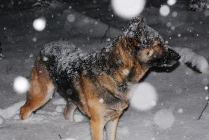 Snow Coated Dog by Wolfegard