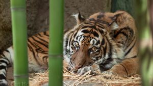 Sumatran Tiger 8955 by robbobert
