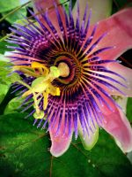 Passion Flower by Boomagoo