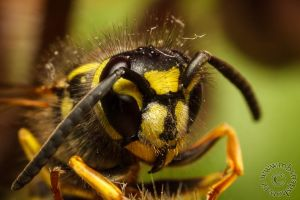 Wasp by MBSnapshots
