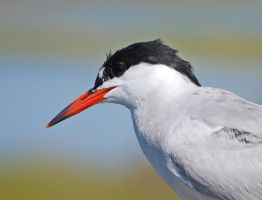 Common Tern by steven0560