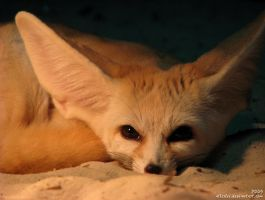 The Alien or the Fennec Fox? by Allerlei