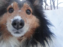 A Sheltie Who Loves Snow by EdibleRainbows