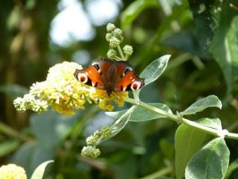 butterfly on yellow flower by thebluemaiden