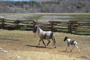 Miniature mare and colt by consideritfox