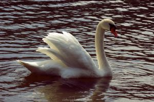 Mute Swan by whitewinged