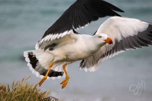 Pacific Gull by Moaheya