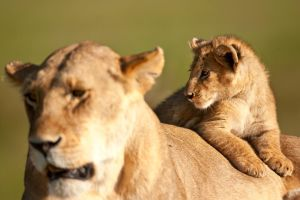 African Lion 35 by catman-suha