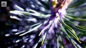 Pine spikes by AndreiPavel