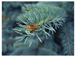 Blue Spruce by Amnet