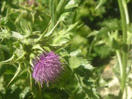 Thistle by piri-666
