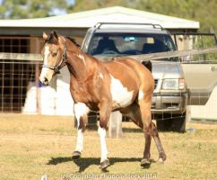 VR Pinto canter front view by Chunga-Stock