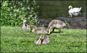 4 Goslings and a swan by Rozrr
