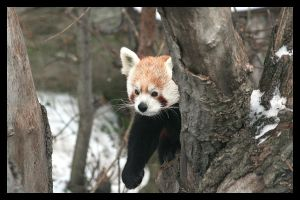 Red panda by AF--Photography