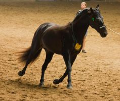 STOCK - 2014 Andalusian Nationals-131 by fillyrox