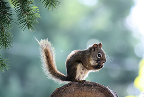 + squirrel by 0-Pepsii-0
