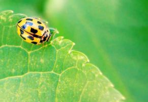 Yellow Ladybug by anneclaires
