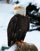 Weisskopfseeadler / Bald Eagle by bluesgrass