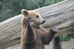 Bear 6 by Linay-stock