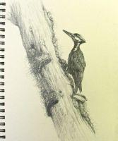 Pileated Woodpecker, after Arlen Thomason photo. by Caddisman