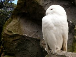 Snowy Owl Wallpaper by burnstine