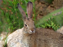 Wild Cottontail Rabbit face  2 by photographyflower