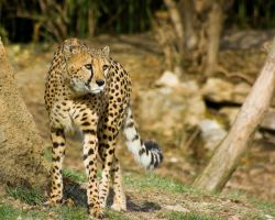 cheetah397 by redbeard31