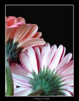 Pretty In Pink by vickibruce