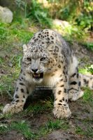 Angry Snow Leopard by 8TwilightAngel8