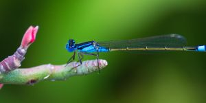 Dragonfly by Cheagle87