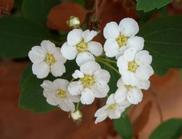 Spiraea flowers 5 by TinyWild
