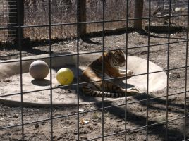 Black Pine Animal Sanctuary, Tiger, March 17 2015 by jkeg9