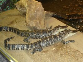 American Alligators by Archanubis