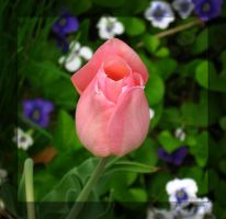 Pink Tulip Bud by Tranquil-Insanity