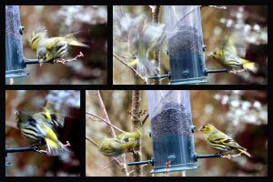 Siskin Aggro Collage by printsILike