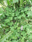 Find a fourleaved clover by MorellAgrysis