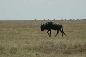 Gnu 4 by CosmicStock