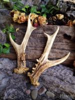 Replica Roe Deer Antlers by Elorhan
