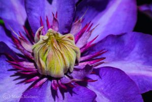 Blue and purple clematis by Moonbird9