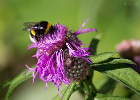 Busy bee by Enalla