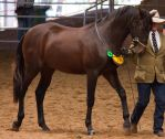 STOCK - 2014 Andalusian Nationals-95 by fillyrox