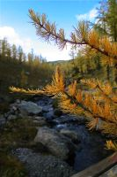 yellow spruce by Dudovitz