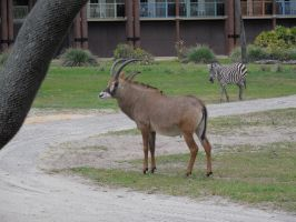 Roan antelope and a zebra by ToaDJacara