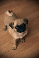 Mickey the pug II by lightlanaskywalker