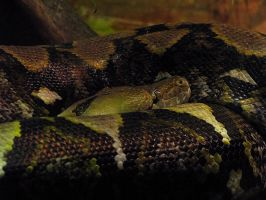 Snake 4: Reticulated Python by HOTNStock
